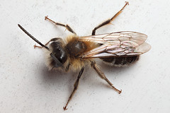 Male miner bee on sunchair #1 (Lord V) Tags: macro bug insect bee andrena minerbee