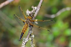 Four-spotted Skimmer -  (ajblake05) Tags: canada male dragonfly britishcolumbia insects northamerica coquitlam odonata libellulidae lowermainland greatervancouver libellulaquadrimaculata hexapoda minnekhadaregionalpark fourspottedskimmer