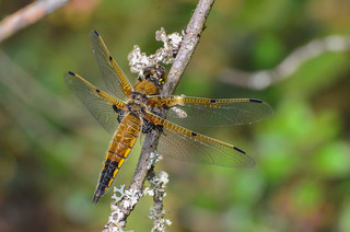 Four-spotted Skimmer - ♂