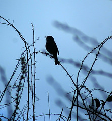 Songbird silhouette (Jaedde & Sis) Tags: jernspurv dunnock prunellamodularis taxonomy silhouette singing thorns challengeyouwinner bigmomma challengefactorywinner thechallengefactory friendlychallenges sweep