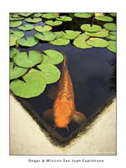 Degas @ MSJC (Emet Martinez Photography) Tags: waterlilies missionsanjuancapistrano onone koipond topazsoftware iphone6 emetmartinezphotography emetmartinezcom topazimpression