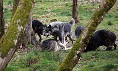 Meute de loups (Carahiah) Tags: wolf domination pack loup rhodes parc wolves dents joueur saintecroix attaque pouvoir meute animalier supriorit grognement