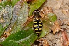 Eupeodes sp A01. Hembra (Jess Tizn Taracido) Tags: syrphidae diptera cyclorrhapha eristalinae eupeodes brachycera