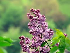 Lilac (R_Ivanova) Tags: pink flowers plant flower color green nature colors garden spring blossom sony lilac природа пролет цветя люляк rivanova риванова