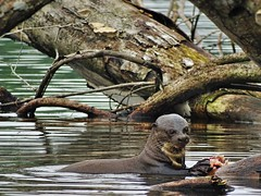 The Giant River Otter (Henry Zou) Tags: park lake peru america river giant mammal photography amazon rainforest wildlife south conservation unesco national otter tropical endangered manu otters amazonian biodiversity cocha brasiliensis pteronura cashu