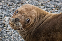 Southern Sea Lion portrait (alicecahill) Tags: wild patagonia southamerica argentina animal tierradelfuego mammal wildlife sealion droh southamericansealion dailyrayofhope southernsealion alicecahill