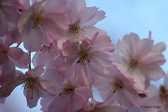 Frühling (Klaus R. aus O.) Tags: tree wall spring blossom lock wand go away tor avenue schloss blüte stein baum torstein weg frühling allee gehweg oberschwappach knetzgau
