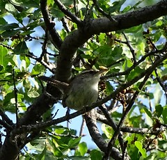 Bewick's Wren--Thryomanes bewickii (Polioptila caerulea) Tags: wren songbird passerine bewickswren thryomanesbewickii thryomanes bewickswrencarryingfood wildrockranch california bewr nevadacounty