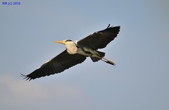 DSC_0076n wb (bwagnerfoto) Tags: vienna wien bird heron grey flying outdoor ardea vogel cinerea graureiher bcs szrke madr wasserpark gm