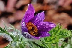 After the Rain (Hugo von Schreck) Tags: flower macro blume makro blte pulsatillavulgaris f13 gewhnlichekuhschelle tamron28300mmf3563divcpzda010 canoneos5dsr hugovonschreck