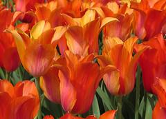 Tulipa 'El Nio' (qt flickr) Tags: longwoodgardens spring2016