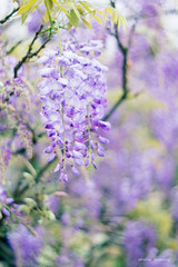 Wisteria  (sigma9988) Tags: flowers color 50mm purple bokeh taiwan f18    wisteria danshui  oreston gorlitz meyeroptik