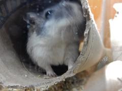 DSCN0802 (therovingeye) Tags: pets gerbil rodents gerbilhabitat