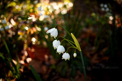 Bejeweled Light of Sping (csaaphotography) Tags: flowers ohio summer usa nature landscape spring woodlands sony cosina voigtlander 28mm snowdrops westerville a7ii