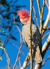 Gang-Gang Cockatoo (M Hooper) Tags: bird cockatoo callocephalonfimbriatum ganggangcockatoo barrengroundsnaturereserve