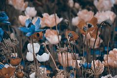 sepiaflowers (be.ata) Tags: flower sepia natur wiese blumen farbarm