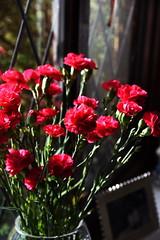 DSC_0837 Red Carnations (PeaTJay) Tags: flowers roses plants macro nature rose gardens fauna outdoors reading flora micro closeups berkshire rosebuds lowerearley nikond750