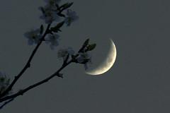 flowering moon (Elly Snel) Tags: moon maan bloesem blossom grijs grey scavenger15 ansh round69 beginnerdigitalphotographychallengewinner
