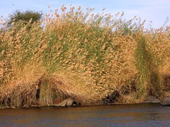 Egypt (Aswan) Reeds on the  bank of Nile River (ustung) Tags: plant seascape reed nature river landscape nikon outdoor egypt nile aswan