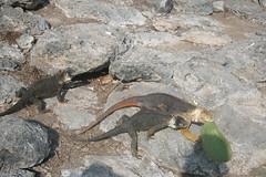 IMG_7626 (chupalo) Tags: cacti landiguana lavarocks islasplaza