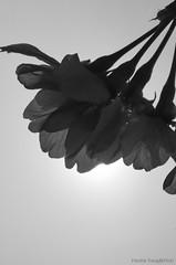 DSC_8700 (Frankie Tseng ()) Tags: park pink flowers sunset sky bw flower silhouette photography 50mm blackwhite nikon outdoor flash sunny tokina cherryblossoms fade nikkor 70300mm tamron 90mm f8 1224mm f28 f4 1870mm bwphotography blackwhitephotography portraitphotography outdoorportrait sb900 yongnuo outdoorportraitphotography yn568