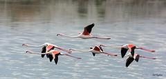 Phoenicopterus roseus (msergoktas) Tags: lake bird water beauty turkey flamingo waterbird greater tamron phoenicopterus roseus akkaya nikond7100 tamron150600 saidergkta