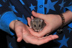 Healthy New Friend (zeity121) Tags: pet rodent hamster dwarfrussian