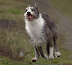 Badger  - At Speed !! (Mid Glam Sam1) Tags: happy teeth joy running snarl gallop lurcher
