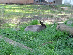 Snack Time (Anomieus) Tags: pet cute rabbit bunny bunnies animal furry konijn conejo tail ears rabbits paws coney coelho lapin kaninchen houserabbit coniglio cottontail  cony kanin  krlik leporidae nyl  iepure  leporid    kuni