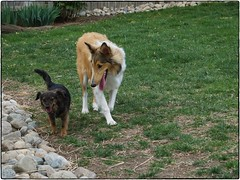 Jemma And Pup, April 16, 2016 (Maggie Osterberg) Tags: dog collie nebraska kong lincoln fujifilm x20 maggieo roughcollie colorefexpro4 jemmasimmons