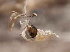 blowing in wind (marianna armata) Tags: winter macro tree cute animal leaf spring branch wind bokeh small snail dry beech 2016 mariannaarmata p2270059