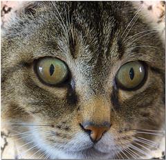 Migoo le chat (NeptuN   neptun-photography.com) Tags: portrait animal photography chat sony flin migoo nex7 sel18200le neptun