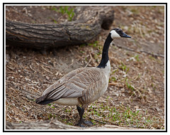 Nature - The Curious Goose - Branta canadensis (Bill E2011) Tags: canada nature canon geese large goose heavy canadagoose brantacanadensis honking