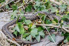 Female Adder - Viper berus (Matchman Devon) Tags: female cove south viper adder hams berus ayrmer