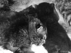 HMM: A black sheep among the tabbies (1994) (Finn Frode (DK)) Tags: pet cats animal cat denmark kittens molly mons milly ronja norwegianforestcat nfo oneofthesethings macromondays ronjasmilly skovlberenssita