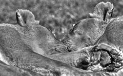 Nap Time (jrussell.1916) Tags: sleeping monochrome blackwhite lions napping kansascityzoo tonemapped zoosofnorthamerica photomatixessentials canonef70200f4lis14tc