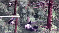 Bei gets down from his tree, with a bounce. (heights.18145) Tags: trees treeclimbing beibei smithsoniansnationalzoo ccncby