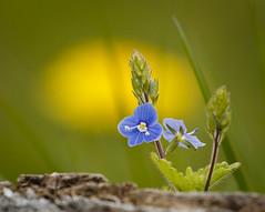 Plaisir  voir (Mariette80) Tags: jaune bleu vronique etangsdefrmontiers