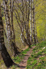 La Via delle Betulle (Roveclimb) Tags: wood mountain forest hiking path trail mede sentiero montagna medee belmonte bosco foresta escursionismo traccia gravedona liro muncech torresella jorio vincino toresella valledelliro valledisanjorio maiavacca alpetorresella alpetoresella alpemed