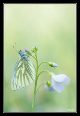 Eveil du Piride (M@P31) Tags: france macro papillon vienne insecte greenveinedwhite 2016 cardaminepratensis pieridae pierisnapi lpidoptre tamron90macro cardaminedesprs piridedunavet vouill sonya77