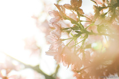 DSC_8538 (Frankie Tseng ()) Tags: park pink flowers sunset sky bw flower silhouette photography 50mm blackwhite nikon outdoor flash sunny tokina cherryblossoms fade nikkor 70300mm tamron 90mm f8 1224mm f28 f4 1870mm bwphotography blackwhitephotography portraitphotography outdoorportrait sb900 yongnuo outdoorportraitphotography yn568
