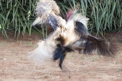 Cockfighting (wietsej) Tags: india cockfighting chhattisgarh minoltadynax7 bastar minolta100mmf28dafmacro cockfightingbastar