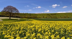 Springtime in the Meon Valley tree (MAG) (Andrew Boxall) Tags: blue england sky tree clouds landscape hampshire rape valley lone oilseed meon souhern