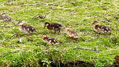 Ducklings in the park. (Cajaflez) Tags: spring waterbird printemps vogel voorjaar fruhling watervogel eendekuikens dragonderpark