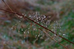 Bejewelled (Richie Rue) Tags: uk autumn england mist color colour fall wet rain misty fog landscape outdoors landscapes drops nikon bradford yorkshire united foggy kingdom drop drip raindrops drips raining autumnal d300 bejewelled