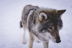 Wolf (craigmdennis) Tags: travelling animals norway wolf polarpark