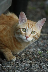 Sguardo felino (artiacoilaria) Tags: cats verde animals cat greeneyes occhi gatto animali etes