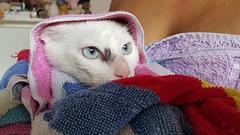 36/365: After bath / Depois do banho (yago_ma) Tags: pet white animal branco cat bath interior blueeyes indoor towel gato toalha whitecat banho estimao olhosazuis gatobranco