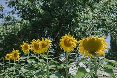 sunflowers greetings () Tags: indigo craft melbourne workshop dye dyeing shibori sonya7  sel35f28z