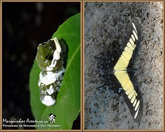 Metamorfose - Heraclides androgeus (Marquinhos Aventureiro) Tags: brazil brasil butterfly wildlife natureza caterpillar vida borboleta floresta lagarta metamorfose metamorphose selvagem heraclides androgeus